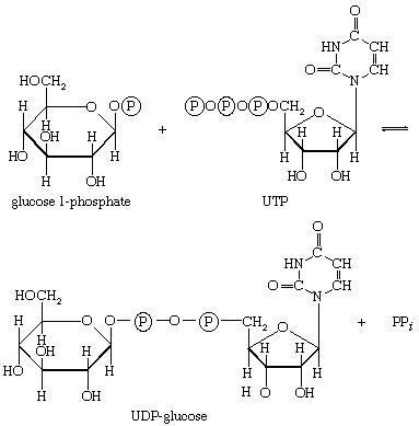 UDP-glucosio