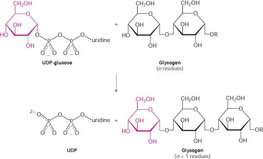 sintesi glicogeno